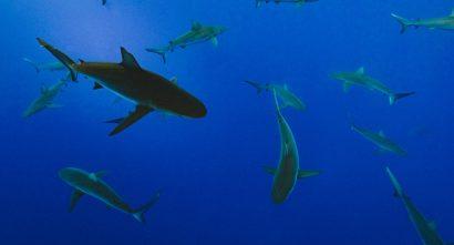 Shark Tank CSA